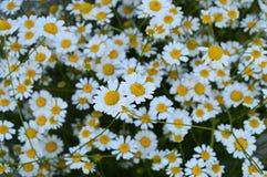 Natürliche Gänseblümchen, Gänseblümchen, Hunderte von den Gänseblümchen, weiße Gänseblümchen Stockbilder