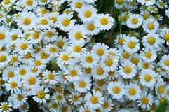 Natürliche Gänseblümchen, Gänseblümchen, Hunderte von den Gänseblümchen, weiße Gänseblümchen Lizenzfreies Stockbild