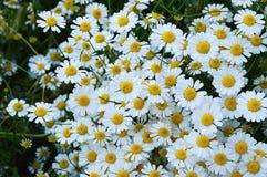 Natürliche Gänseblümchen, Gänseblümchen, Hunderte von den Gänseblümchen, weiße Gänseblümchen Stockfotos