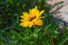 Natürliche gelbe Blume im Garten EINZELNE BLUME Stockfotos