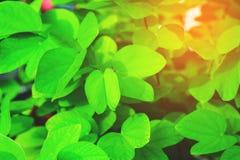 Natürliche Grünblätter Stockfotos