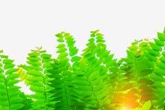 Natürliche Grünblätter unter warmem Sonnenschein Stockbild
