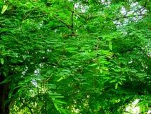 Natürliche grüne Blätter Lizenzfreie Stockfotos