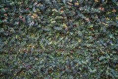 Natürliche grüne Blattwand, Beschaffenheitshintergrund Stockfotografie