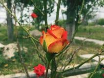 Natürliche grüne Blume der Tagesrose Lizenzfreie Stockfotos