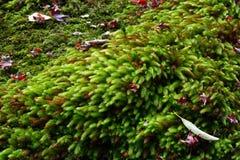 Natürliche grüne Mooshintergrundbeschaffenheit und gefallene Herbstahornblätter Lizenzfreies Stockfoto