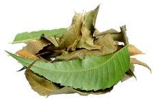 Natürliche grüne neem Blätter Lizenzfreie Stockfotos