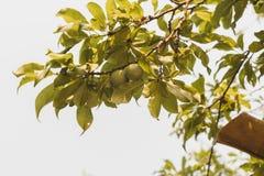 natürliche grüne rohe Pflaumenfrucht auf Baum mit Blättern stockfotos