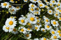 Natürliche Kamillenblumen und -nutzen, riechende Kamille blüht, Bilder von menschlichen Schnüffelnblumen Lizenzfreies Stockfoto