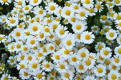 Natürliche Kamillenblumen und -nutzen, riechende Kamille blüht, Bilder von menschlichen Schnüffelnblumen Lizenzfreies Stockbild