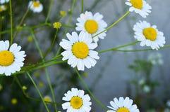 Natürliche Kamillenblumen und -nutzen, riechende Kamille blüht, Bilder von menschlichen Schnüffelnblumen Stockbild