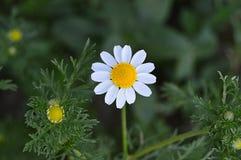 Natürliche Kamillenblumen und -nutzen, riechende Kamille blüht, Bilder von menschlichen Schnüffelnblumen Stockbilder
