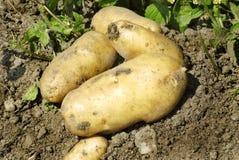 Natürliche Kartoffeln Lizenzfreies Stockbild