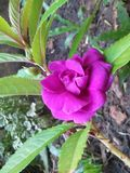 Natürliche kuudalu Blumen von Sri Lanka stockbild