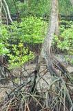 Natürliche Mangrove stockbilder