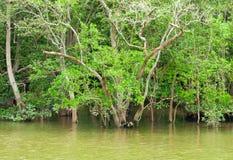 Natürliche Mangrove während der Flut stockfotos