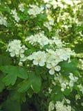 Natürliche Myrte des Gartens der wilden Blumen Betriebs lizenzfreie stockfotos