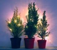 Natürliche Nadelbaum- und Zypressenbäume in den Blaulichtern stockbilder