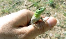 Natürliche Nahaufnahme der grünen Eidechse in der Hand Stockbild