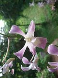 Natürliche orchide Blumen von Sri Lanka Stockbilder