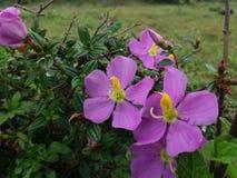 Natürliche Osbeckia-octandra Blume in Sri Lanka Lizenzfreie Stockfotos