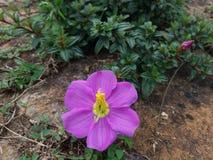 Natürliche Osbeckia-octandra Blume in Sri Lanka Stockfoto