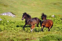 Natürliche Pony-Umwerbung stockfotos