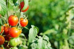 Natürliche rote Kirschtomaten auf einer Niederlassung im Garten stockfotografie