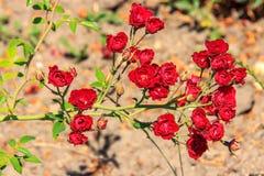 Natürliche Rotrose Stockfotos