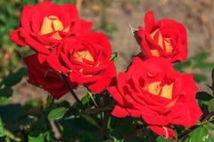 Natürliche Rotrose Stockfoto