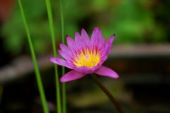 Natürliche schöne purpurrote Lotosblumen lizenzfreies stockfoto