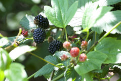 Natürliche schwarze Beeren lizenzfreie stockfotografie