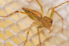 Natürliche Spinne im Haus in Ayutthaya Stockbilder