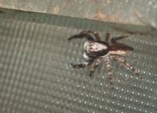 Natürliche Spinne im Haus in Ayutthaya Lizenzfreies Stockbild