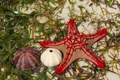 Natürliche Starfish im Meer Stockfotos