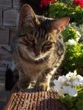 Natürliche Tabby Cat- und Pelargonien-Blumen lizenzfreie stockfotos
