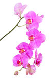 Natürliche tropische Schönheitsniederlassung der violetten Orchidee blüht Stockfotografie