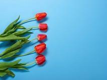 Natürliche Tulpen blüht auf blauem Hintergrund - Liebes- und Feiertagskonzept Stockfotografie