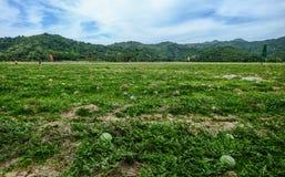 Natürliche Wassermelone, die auf dem Gebiet wächst stockfotografie