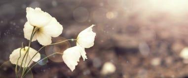 Natürliche wilde Mohnblume der Fahne auf dem Hintergrund der Natur stockfotos