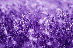 Natürlicher Blumenhintergrund, ultraviolettes Konzept - Farbe des Jahres 2018 Stockfotografie