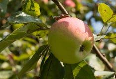 Natürlicher eco Apfel auf dem Apfelbaum Stockfoto
