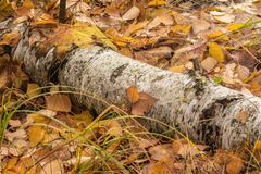 Natürlicher gefallener Birkenabschluß des Herbstes Hintergrund oben Stockbild