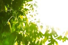 Natürlicher grüner Hintergrund mit vorgewähltem Fokus Lizenzfreies Stockfoto