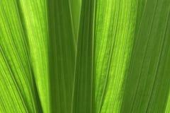 Natürlicher grüner Hintergrund von Gladiolestämmen Stockfoto