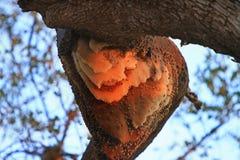 Natürlicher großer Bienen-Bienenstock in der Überdachung eines Baums in Süd-Luangwa, Sambia Stockfotos