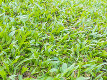 Natürlicher Hintergrund - Beschaffenheit des grünen Grases Stockfoto
