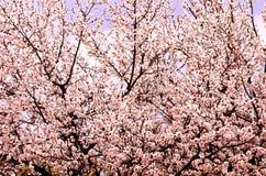 Natürlicher natürlicher Hintergrund besteht aus einem dicht blühenden Baum bei der Computerverarbeitung lizenzfreies stockbild