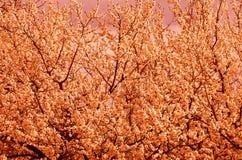 Natürlicher natürlicher Hintergrund besteht aus einem dicht blühenden Baum bei der Computerverarbeitung lizenzfreies stockfoto