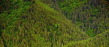 Natürlicher Hintergrund, der aus Bäumen des Kiefernwaldes besteht lizenzfreie stockbilder